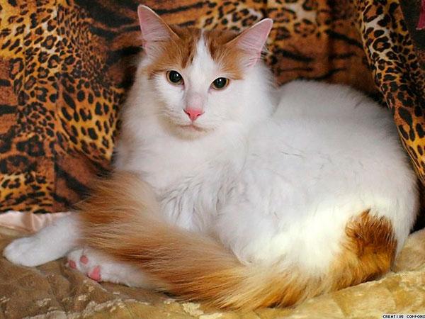 أغرب سلالات القطط العالم