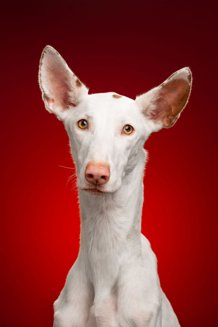 صورة كلبة من سلالة عريقة