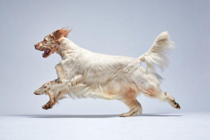 صورة كلب غزير الشعر يجري