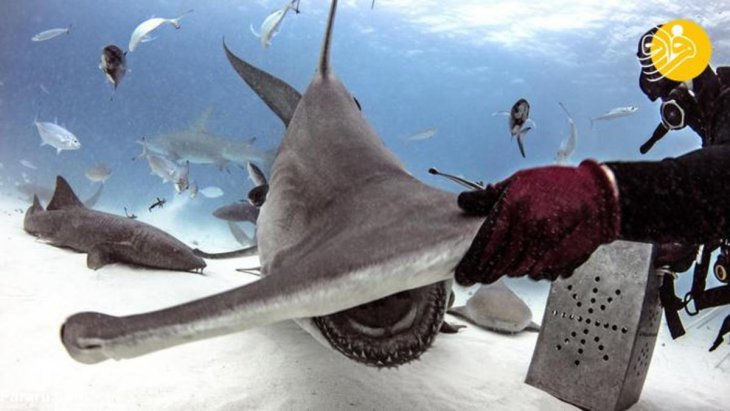 الغواص يمسك مطرقة القرش